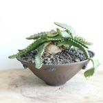 ユーフォルビア ステラータ   no.003    Euphorbia stellata