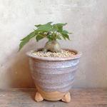 フィッカス   アブチリフォリア      Ficus abutilifolia