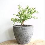 ユーフォルビア ステノクラーダ   no.001   Euphorbia stenoclada