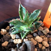 agave    mexca limited《ドワーフィー》