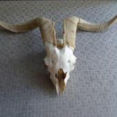 ◆羊の骨/頭蓋骨◆ アメリカ ◆ アンティーク◆ SOLD