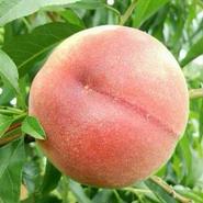 【農家の贅沢】糖度30度以上の桃!1個