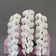大輪胡蝶蘭3本立 5L