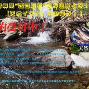 津軽白神山麓【天然イワナ】3尾冷凍セット:(期間限定販売)
