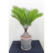 塊根植物 ザミア フロリダーナ鉢+皿付き