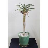 観葉植物 ディコトマ 鉢付き 7号