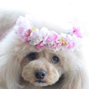 春のさくら花かんむり・ピンク
