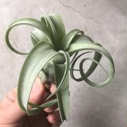 Tillandsia curlyslim チランジア カーリースリム Sサイズ