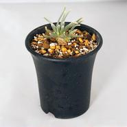 多肉植物  アボニア・クイナリア (Avonia quinaria)  赤花アルストニー