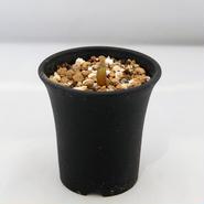 塊根植物 パキポディウム ウィンゾリー(Pachypodium baronii var. windsorii)小