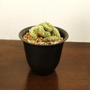 サボテン 金手毬綴化(Mammillaria elongata f. crist)