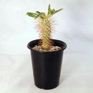 塊根植物 パキポディウム ナマクアナム(Pachypodium namaquanum)光堂