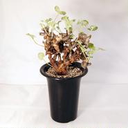 塊根植物 ペラルゴニウム・ミラビレ(Pelargonium mirabile)【送料無料】