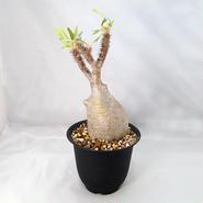 塊根植物 パキポディウム グラキリス(Pachypodium rosulatum var.gracilius)発根済  【送料無料】