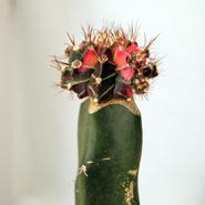 サボテン接ぎ木 緋牡丹錦五色斑(Gymnocalycium mihanovichii) 鉢付き