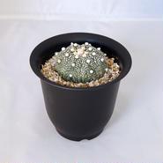 サボテン 兜(Astrophytum asterias)
