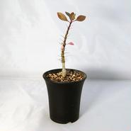塊根植物 フォークイエリア・ファシクラータ(Fouquieria fasciculata)【送料無料】
