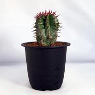 多肉植物 ユーフォルビア・ポリゴナ(Euphorbia polygona)