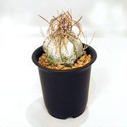 サボテン 白瑞鳳玉(Astrophytum capricome var.niveum)