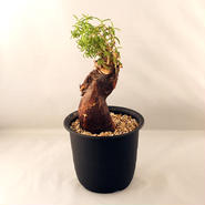 塊根植物 メストクレマ・ツベローサム(Mestoklema tuberosum)