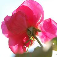 Tomomi HASEGAWA ポストカード「薔薇」