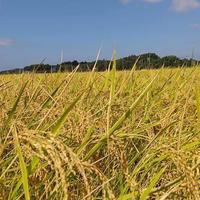 【千葉南房総】東條さんのコシヒカリ 白米3kg(栽培期間中 農薬化学肥料不使用)