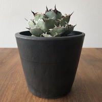 Agave  titanota  black& blue