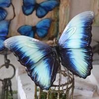 蝶のマグネット ディダミアモルフォ Turquoise Lsize