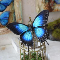 蝶のマグネット オオルリアゲハ blue plus Msize