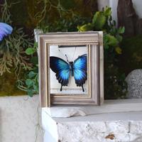 蝶の壁掛けオオルリアゲハ