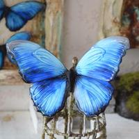 蝶のマグネット メネラウスモルフォ blue.col Msize