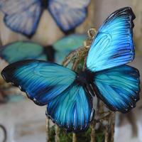 蝶のマグネット メネラウスモルフォ new turquoise plus.col Msize