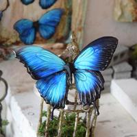 蝶のマグネット オオルリアゲハ メネラウスモルフォhalf blue plus Msize