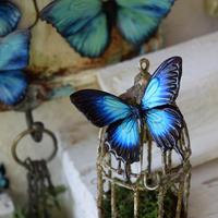 蝶のマグネット オオルリアゲハ blue plus Ssize(両面使用)