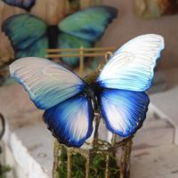 蝶のマグネット メネラウスモルフォ Glacier Msize