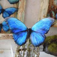 蝶のマグネット メネラウスモルフォ blue plus.col Msize