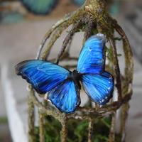 蝶のマグネット メネラウスモルフォ blue plus 2Ssize