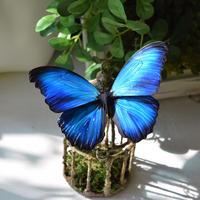 蝶のマグネット メネラウスモルフォ new blue plus.col Msize 翅薄型