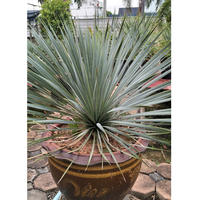 Yucca Rostata