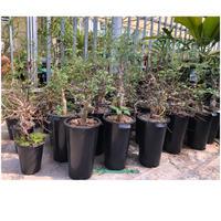commiphora kataf turkanensis 6plants〜