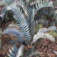 Encephalartos Lehmanii 3plants 〜