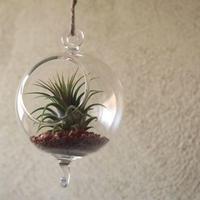 ガラスボール 小 ×エアープランツ セット