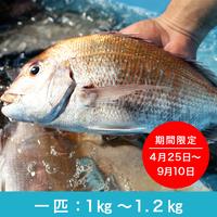 活神経〆 天然真鯛【一匹(1㎏~1.2㎏)】