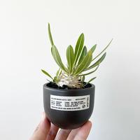 Pachypodium Eburneum × ROUGH12【超良型】
