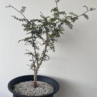 【新着・人気潅木】オペルクリカリア デカリー【中サイズ】