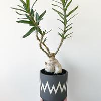 "Pachypodium succulentum × MONSTER MOUTH BLOCK ""VINTAGE BLACK"""