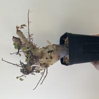 【極太・大人気の潅木】コミフォラ カタフ ターカネシンス【肌質最高】