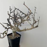 【新着】Commiphora stocksiana コミフォラ ストックシアナ【男前な見た目の大人気潅木】