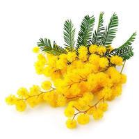 ミモザ Abs(  Narcissus Absolute)エッセンシャルオイル 3mL