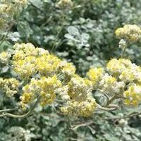ヘリクリサム( Helichrysum) 3mL エッセンシャルオイル